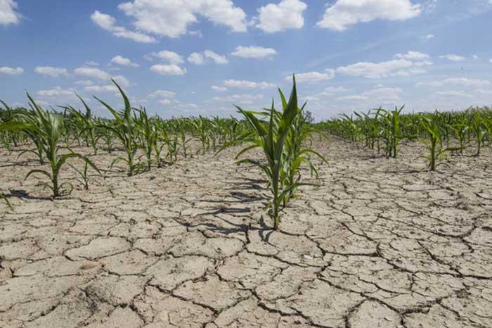 Photographie de cultures fortement impactées par la sécheresse